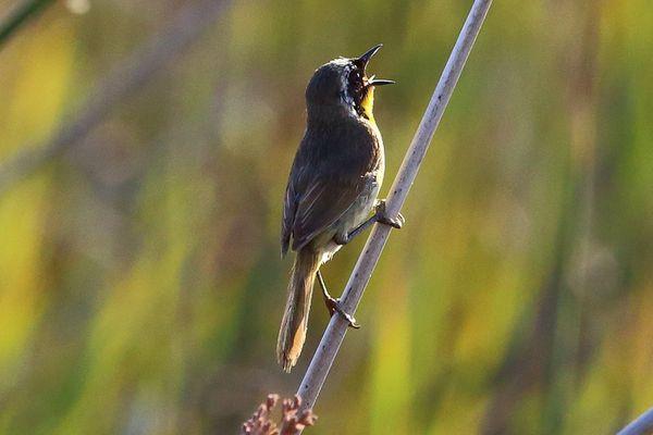Common Yellowthroat Singing at Sunrise