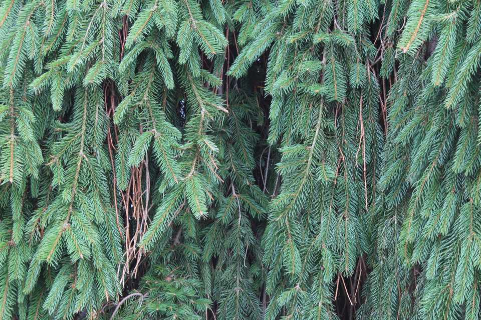 Weeping Norway Spruce Plant
