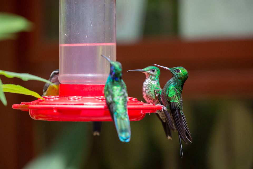Three hummingbirds at a feeder