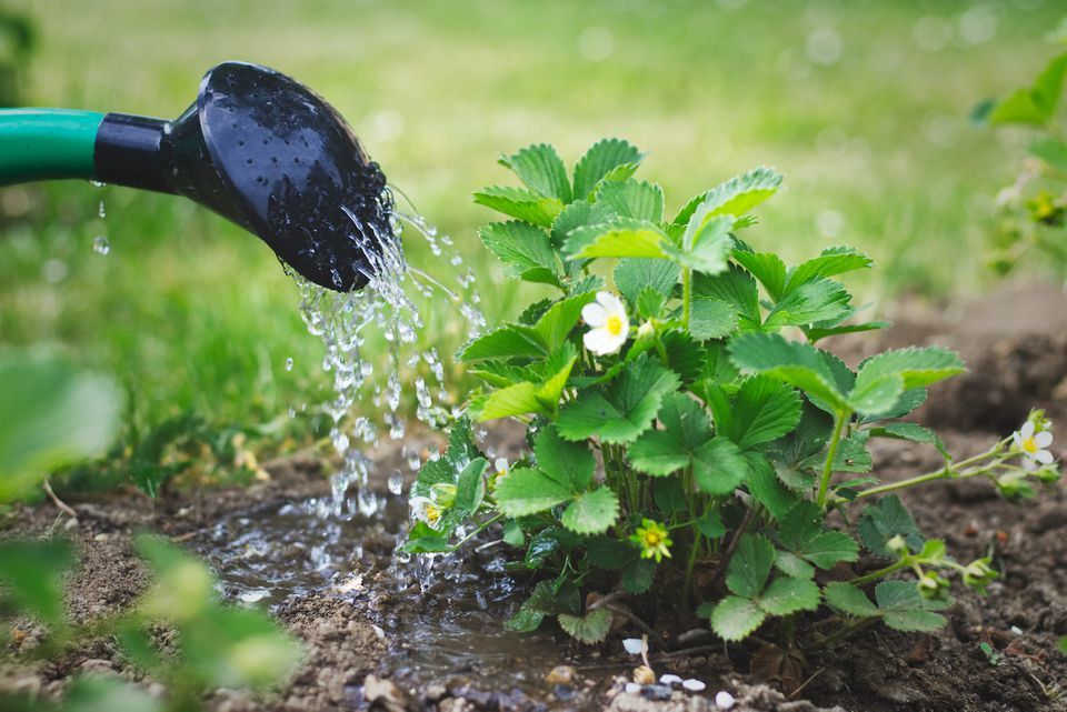 Watering Strawberry Plant