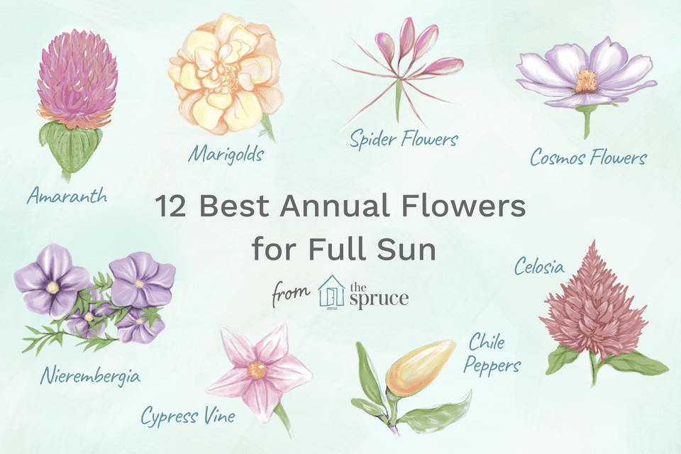 Illustration of the best annual flowers for full sun