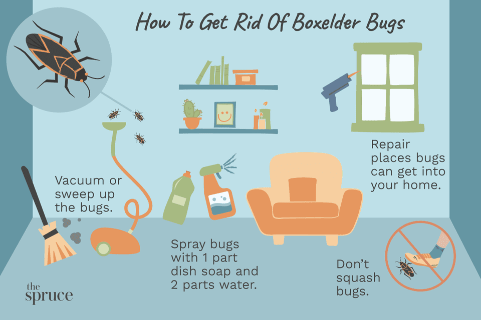 Illustration on how to get rid of boxelder bugs
