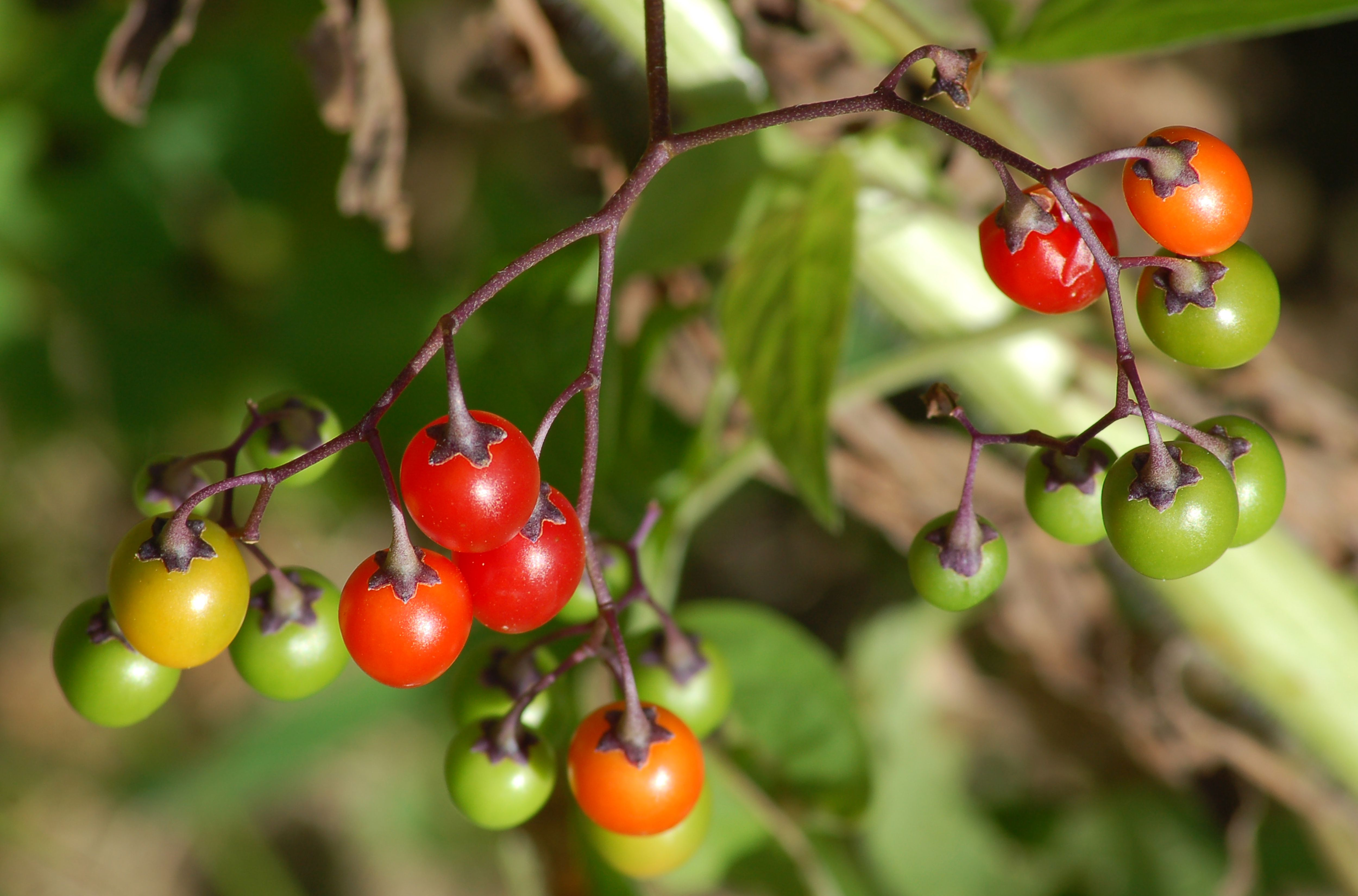 Pictures Of Poisonous Plants For Identification