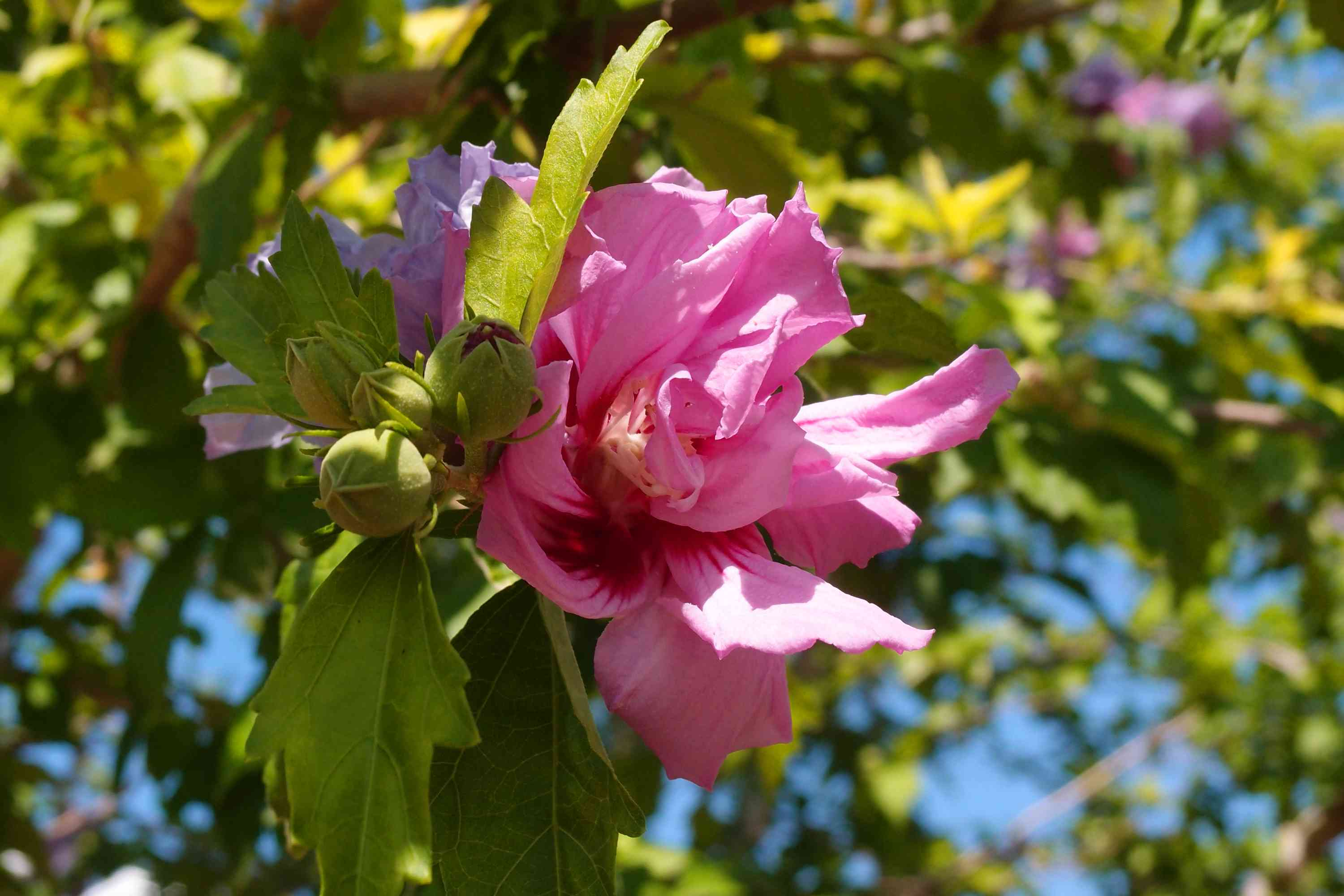 Hibiscus syriacus Lavender Chiffon or Rose of Sharon. Pink flower in bloom