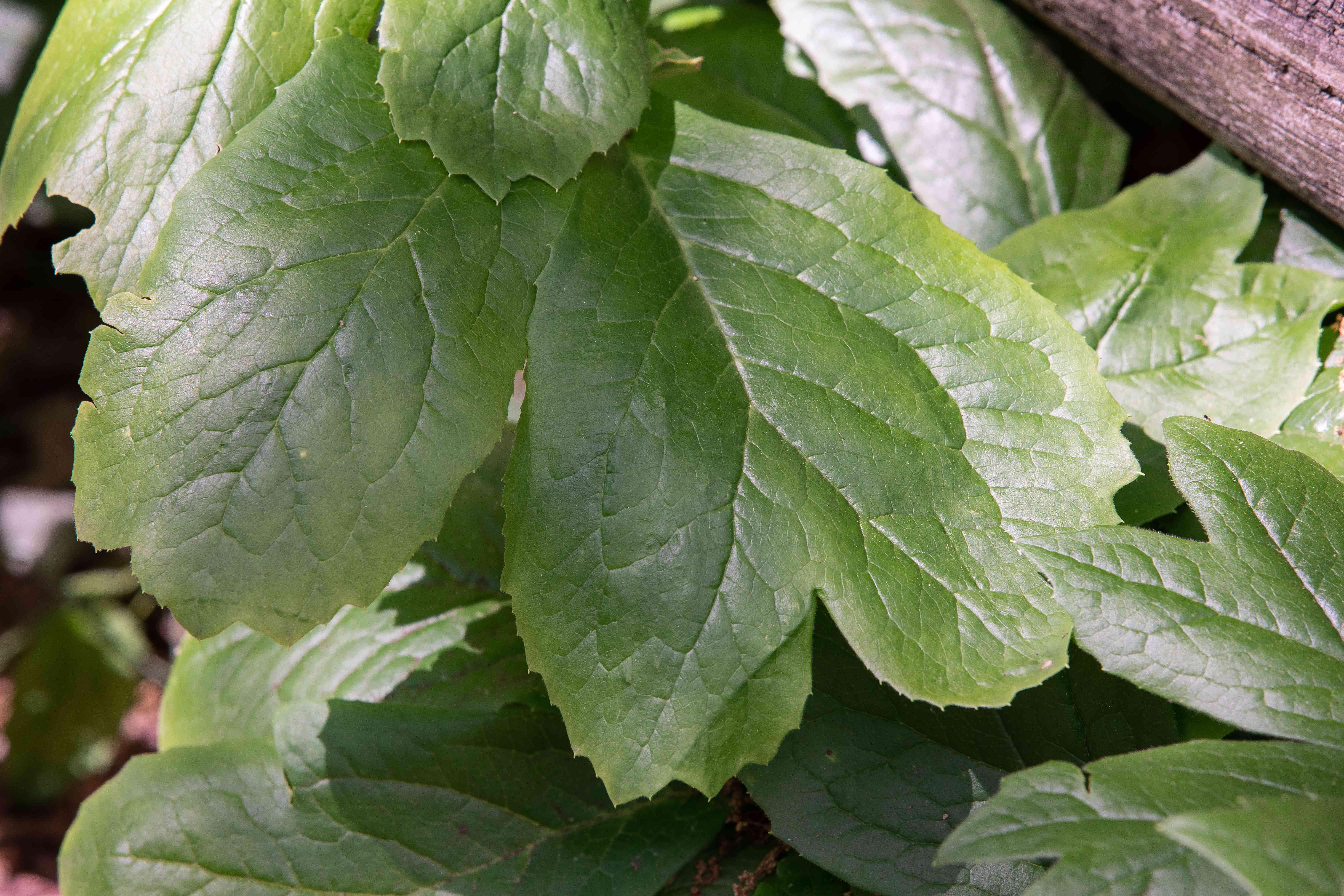 Mayapple wildflower plant with divided umbrella-like leaves closeup