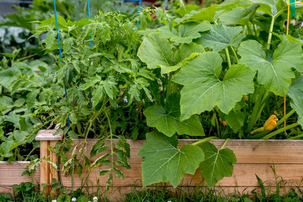 Companion plants in vegetable and herb raised garden