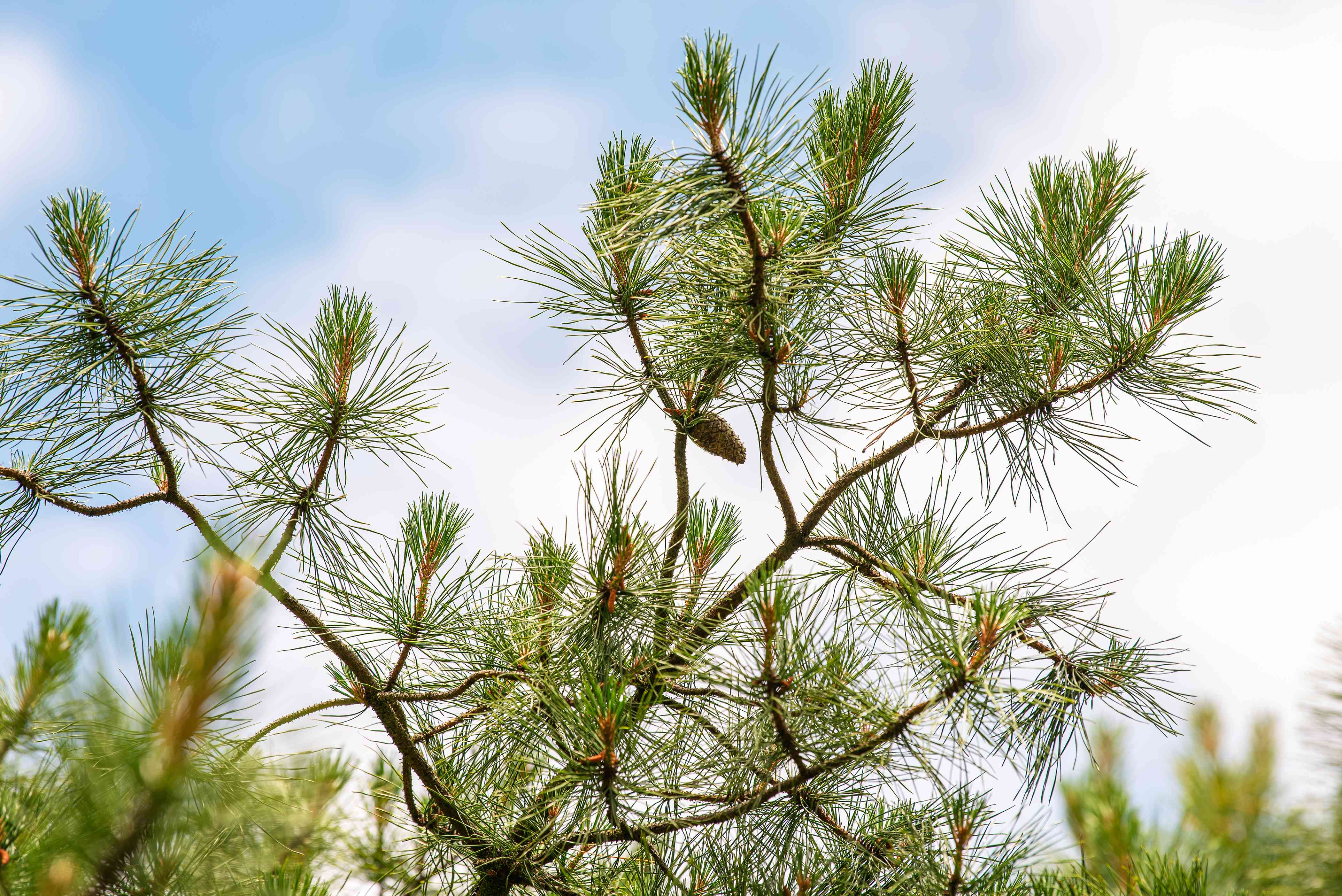 Pitch pine tree with dark green needles and small pinecones on twisted branches