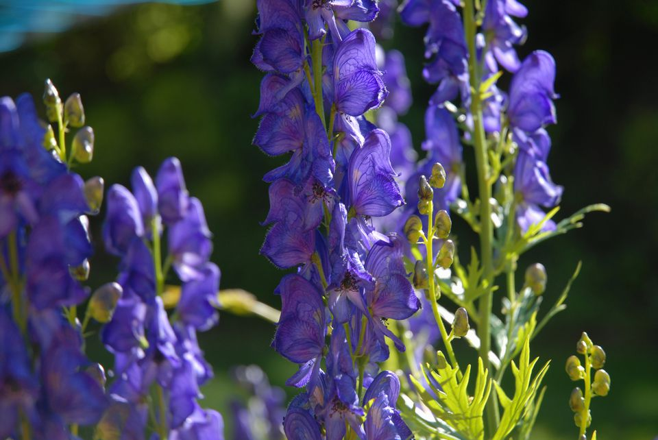 Monkshood flowers