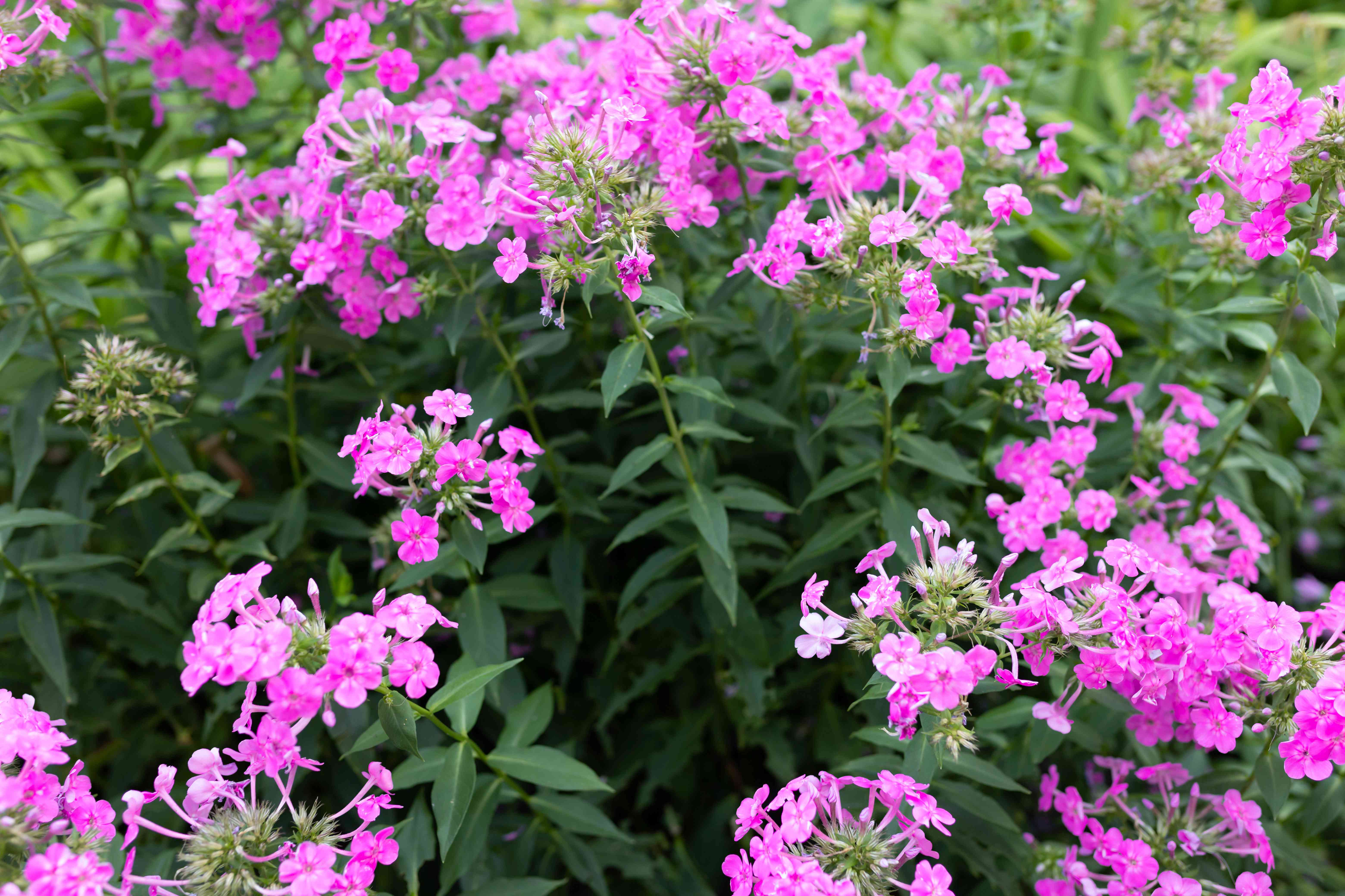 Phlox drummondii with pink flowers and stems