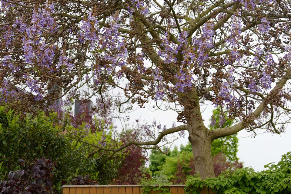 Empress tree with light purple flowers hanging from bare branches