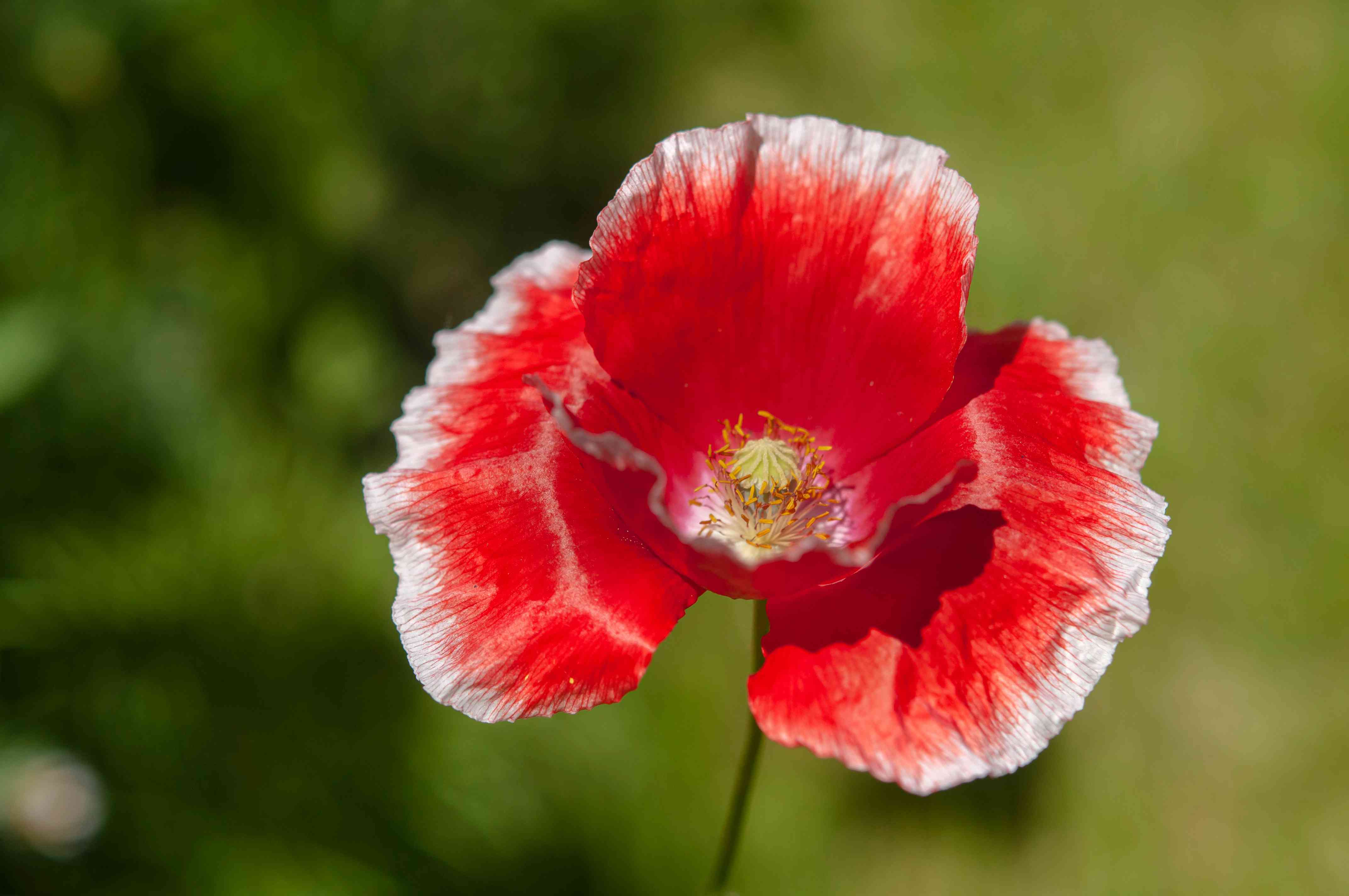 Common poppy with red flowers with white tips closeup