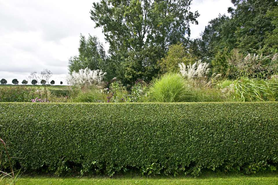 Beautifully-manicured privet hedge (Ligustrum)