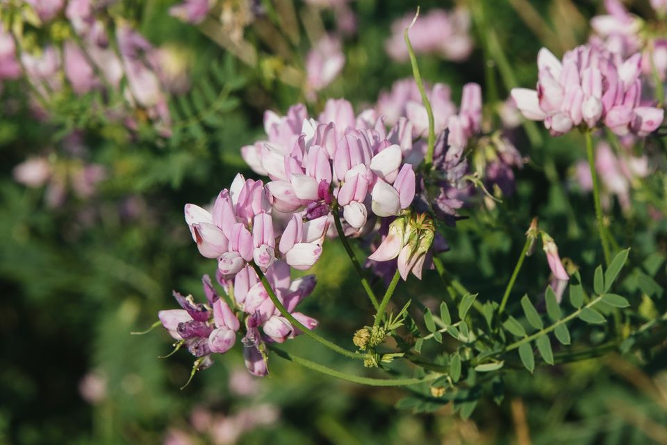 cleome flowers