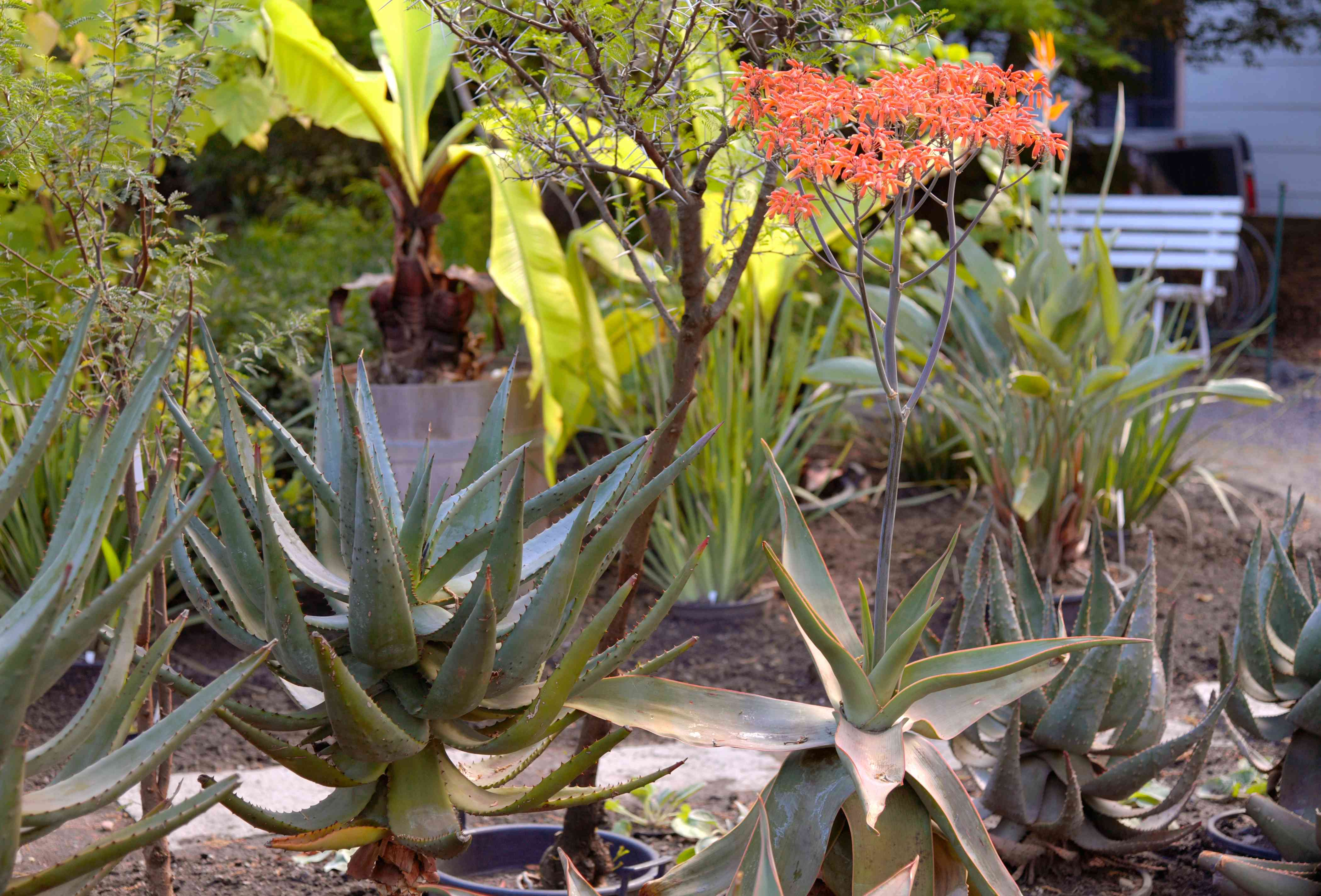 Coral aloe plants with wide thick leaves and coral-red blooms in middle of garden