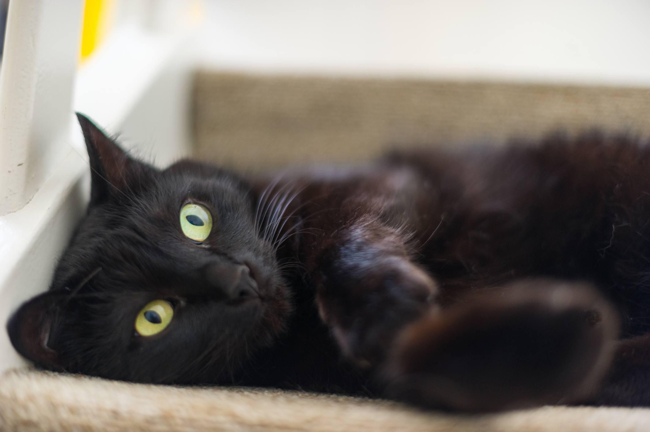 A black cat lying on its back