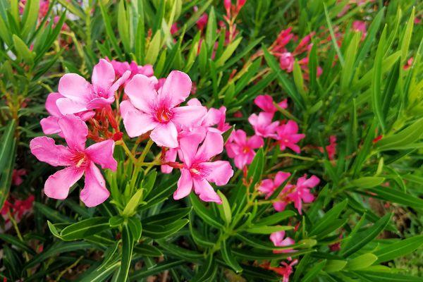 Pink oleander bush in Merida, Mexico