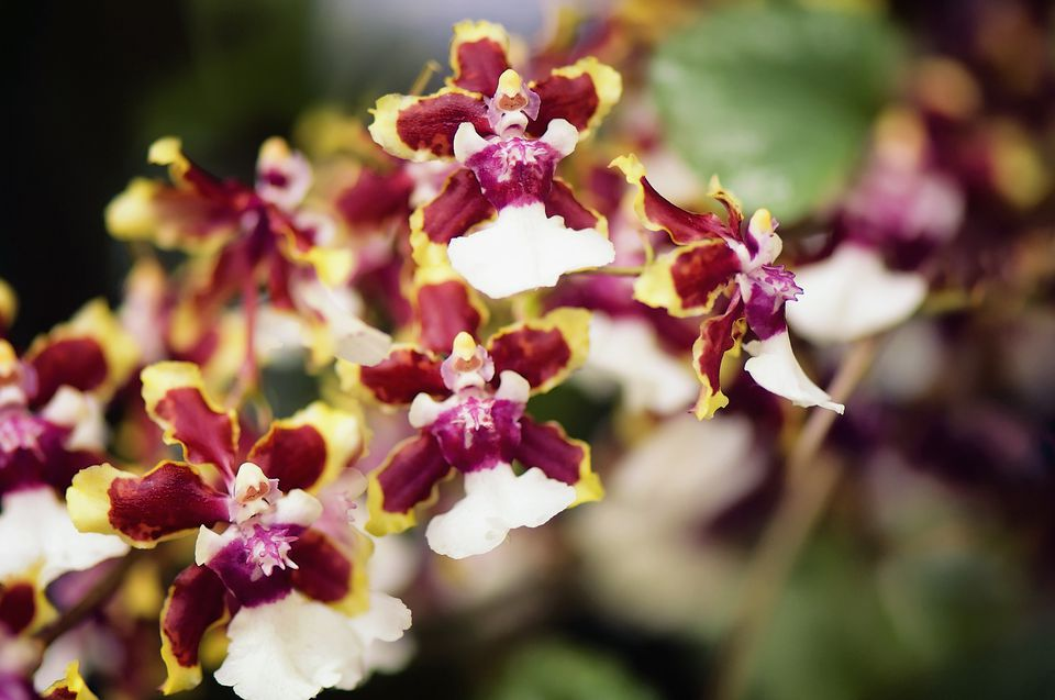 Oncidium Orchid Sharry Baby