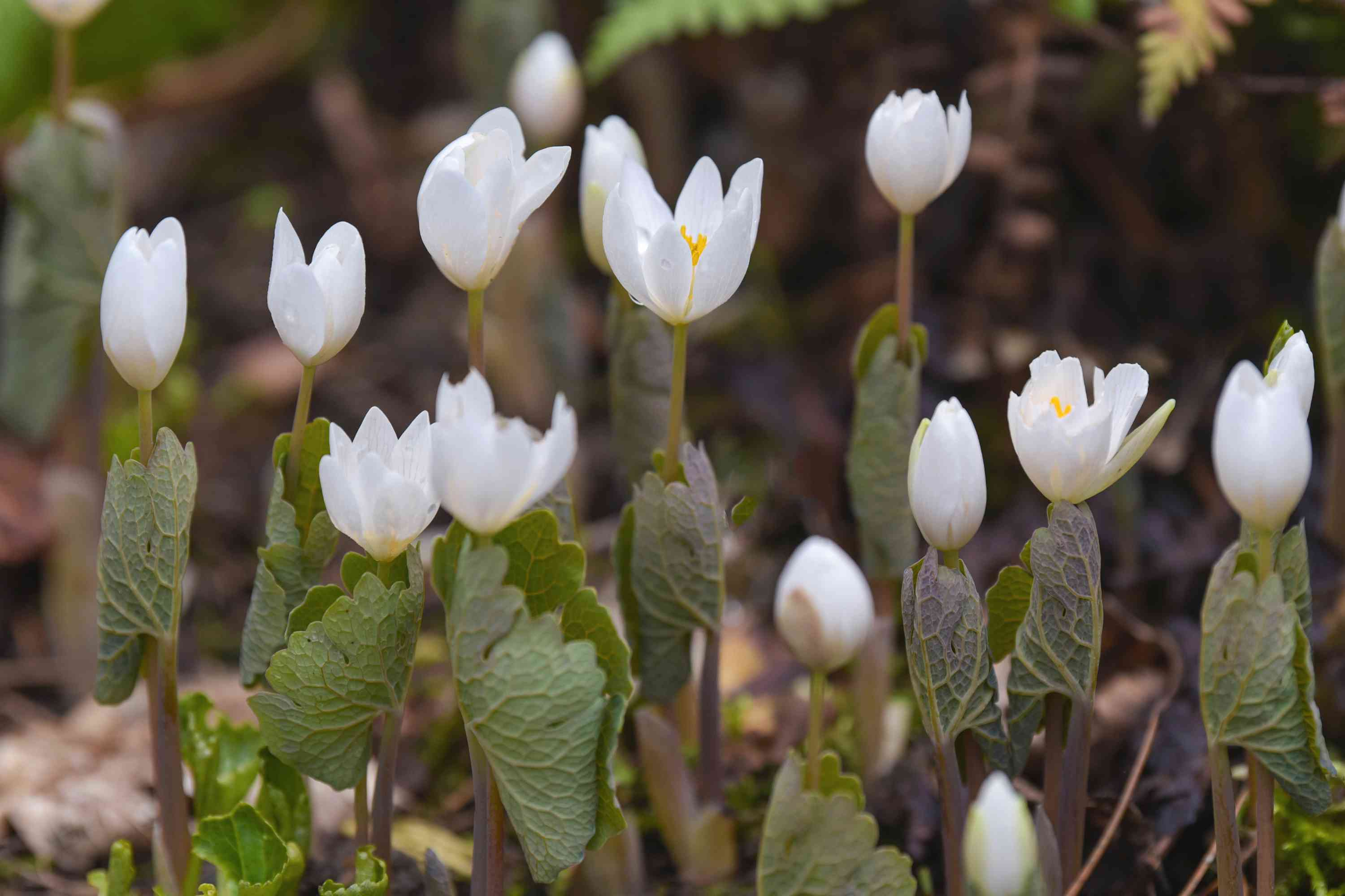 Bloodroot white flower buds and opening flowers with loved and veiny leaves on thin stems