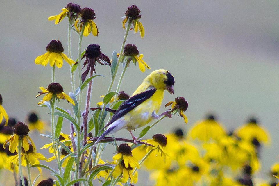 American Goldfinch on Flower