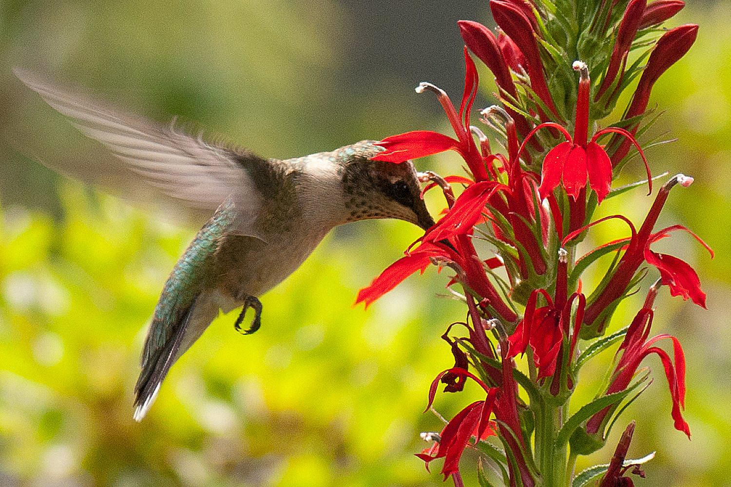 Attract Hummingbirds With These Flowers