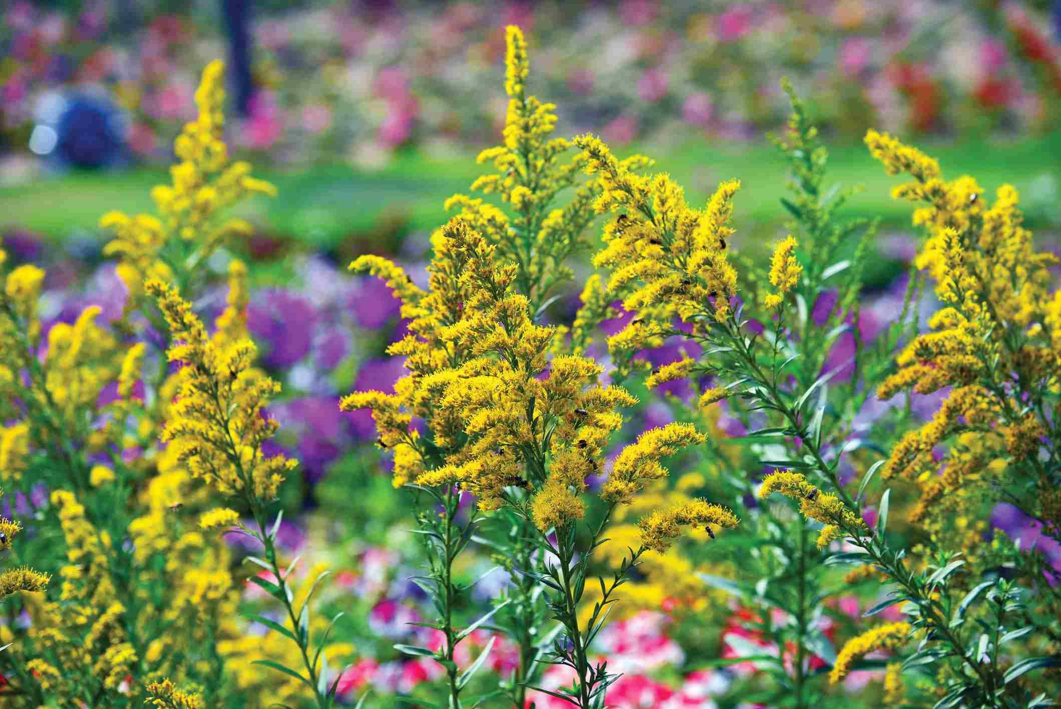 flores de vara de oro (Solidago)