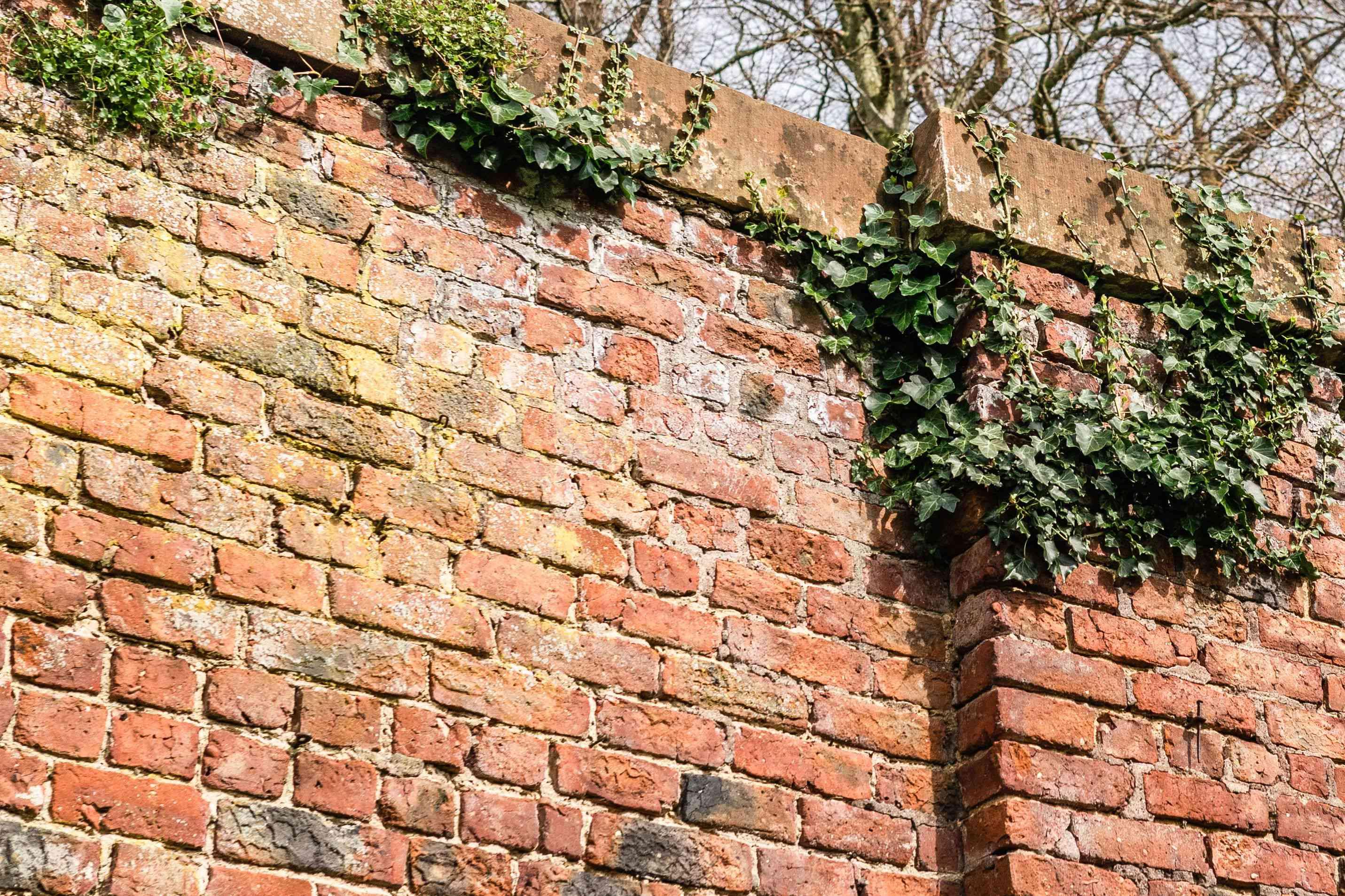 English ivy vines climbing brick fence