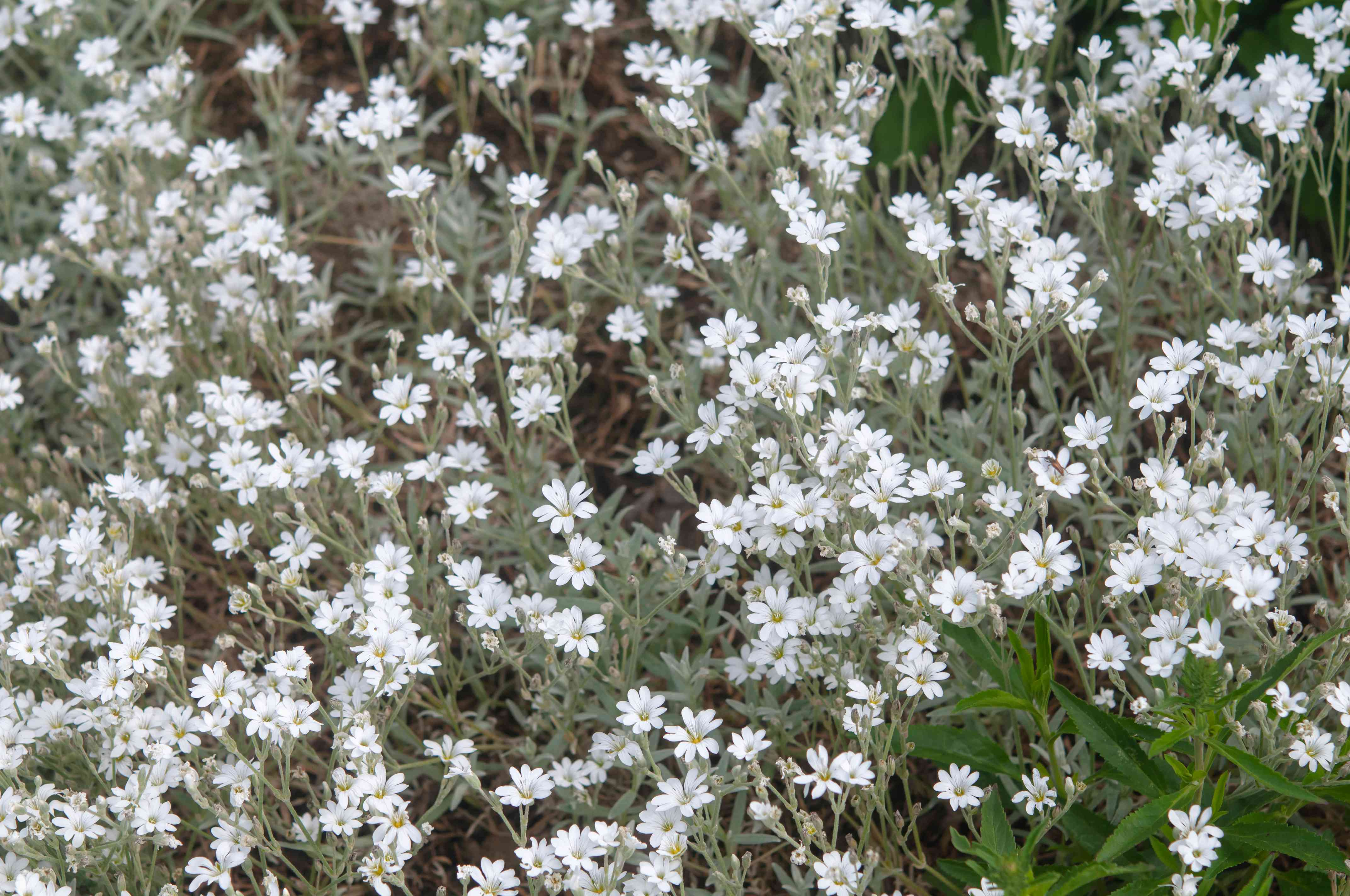 snow in the summer as a ground cover