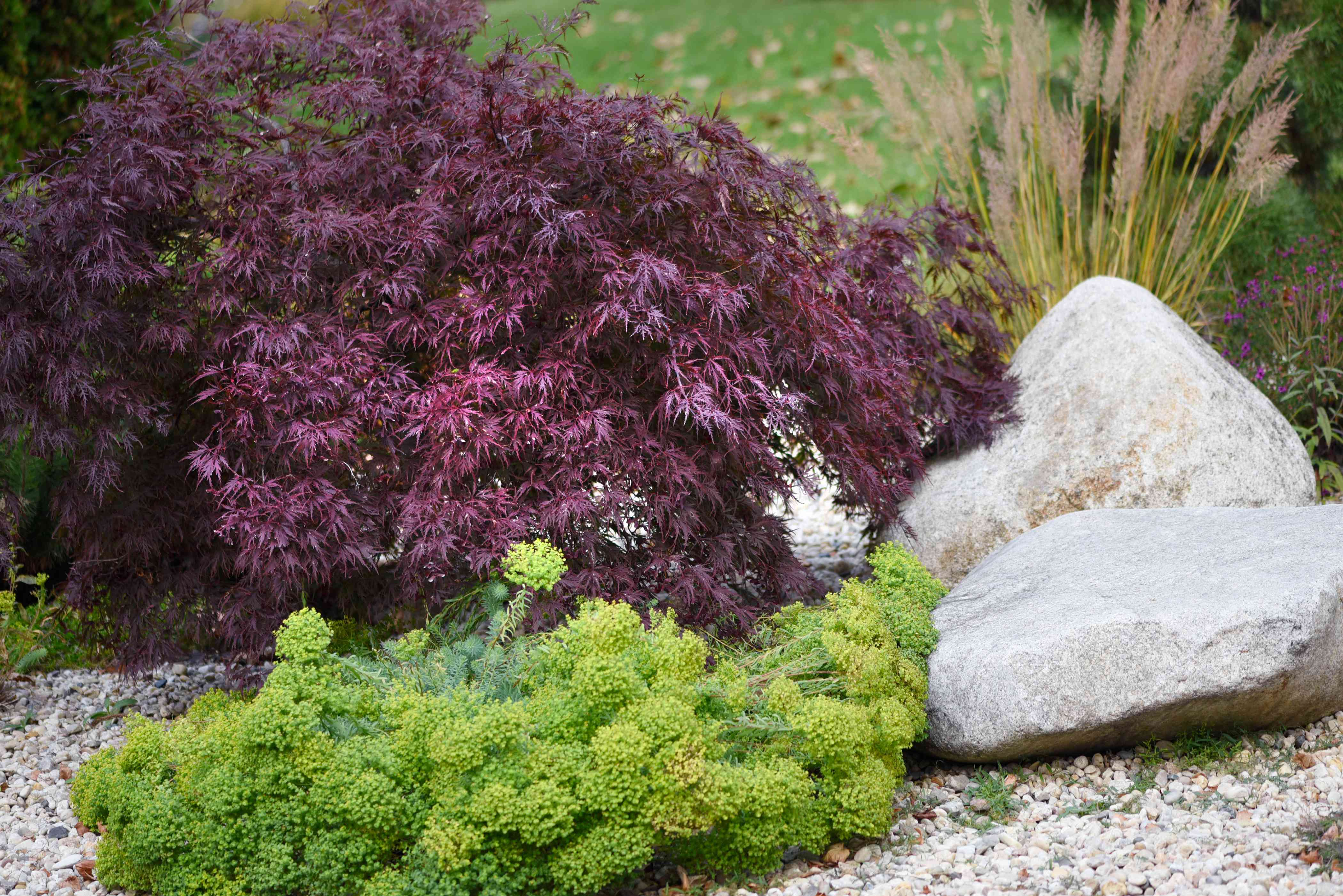 Red dragon Japanese maple tree next to white boulders and bright green bush
