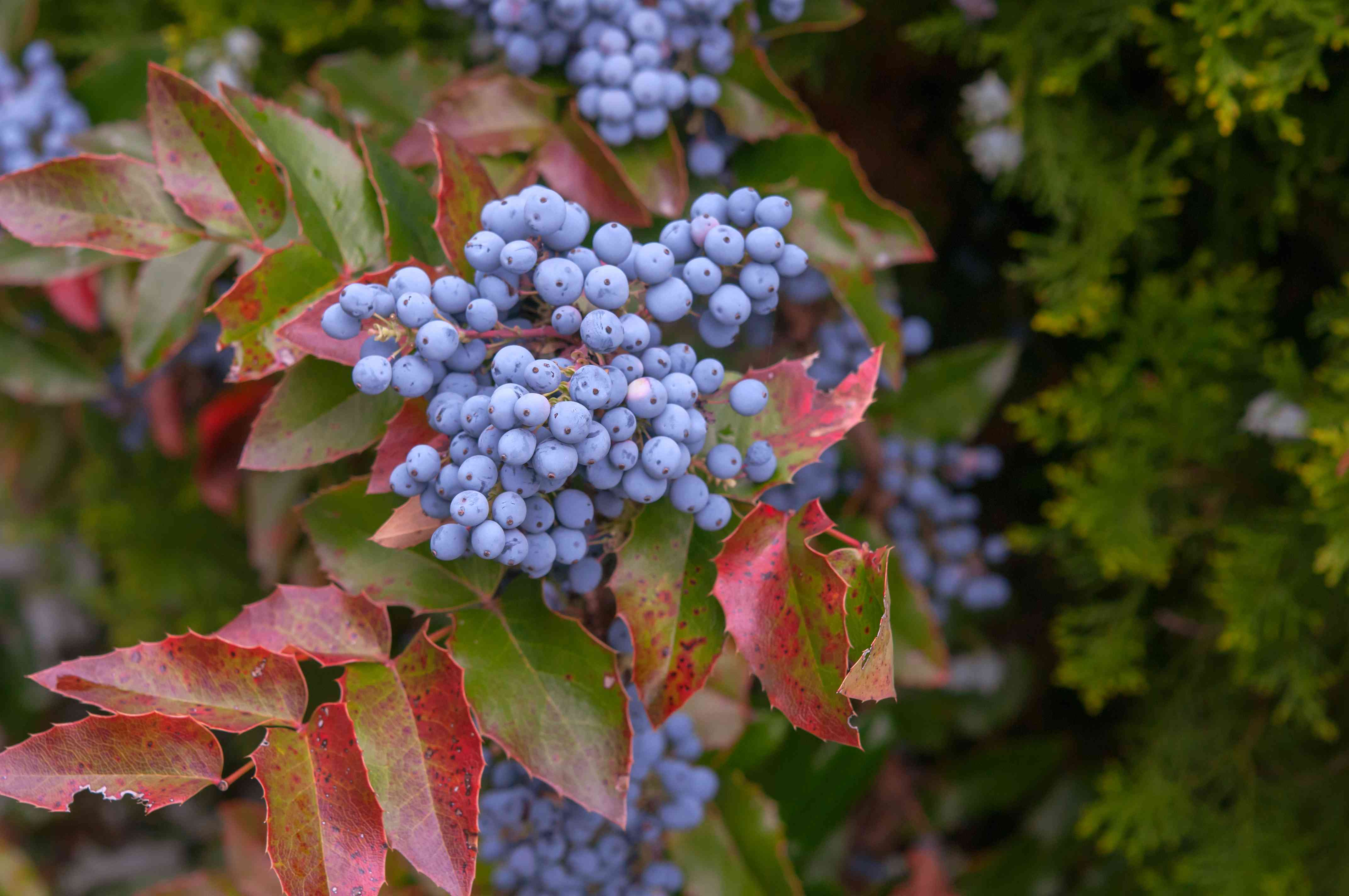 Oregon grape shrub with blue grapes on branch with red and green leaves
