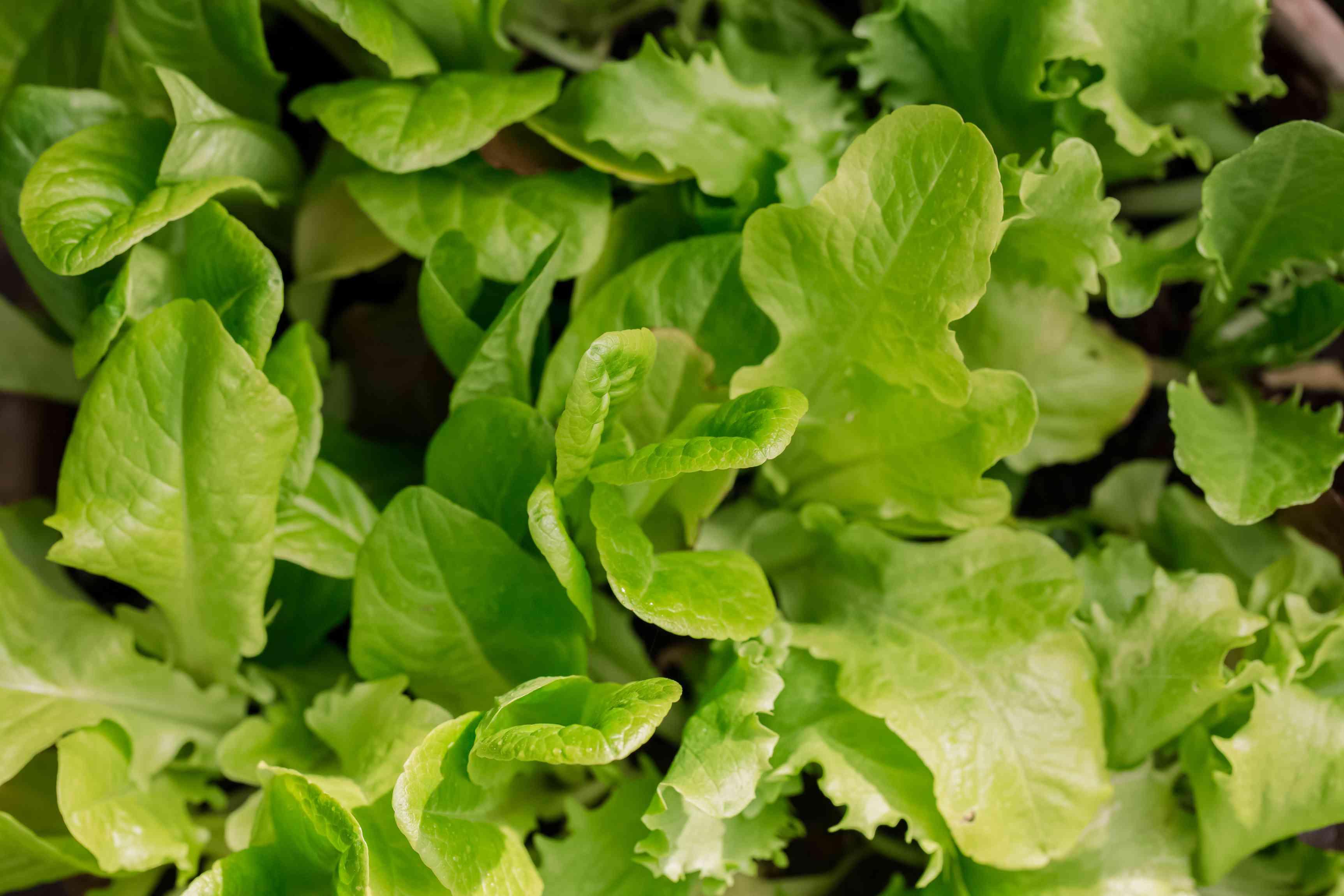 closeup of greens