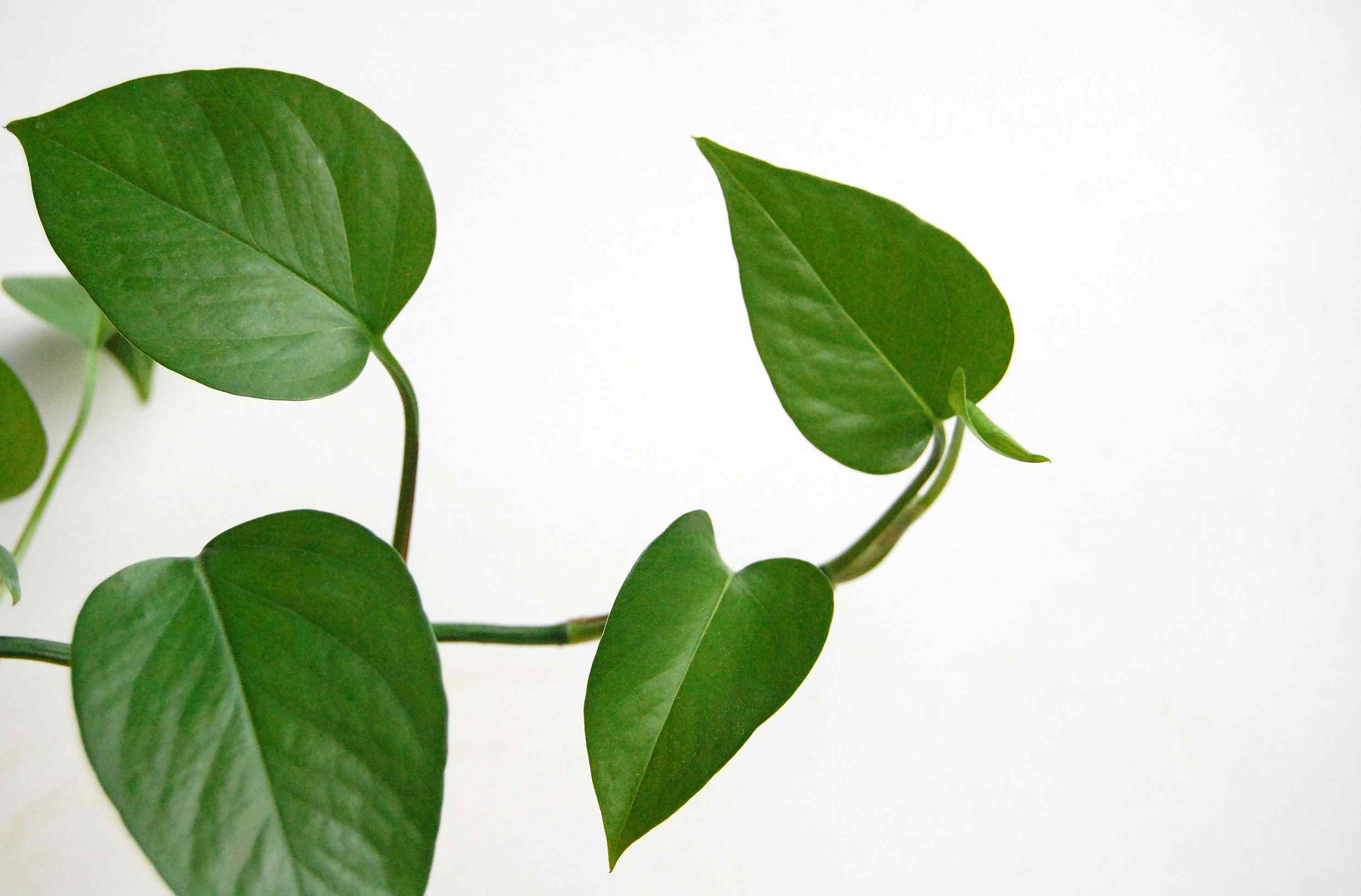 A trailing pothos with new growth at the end.