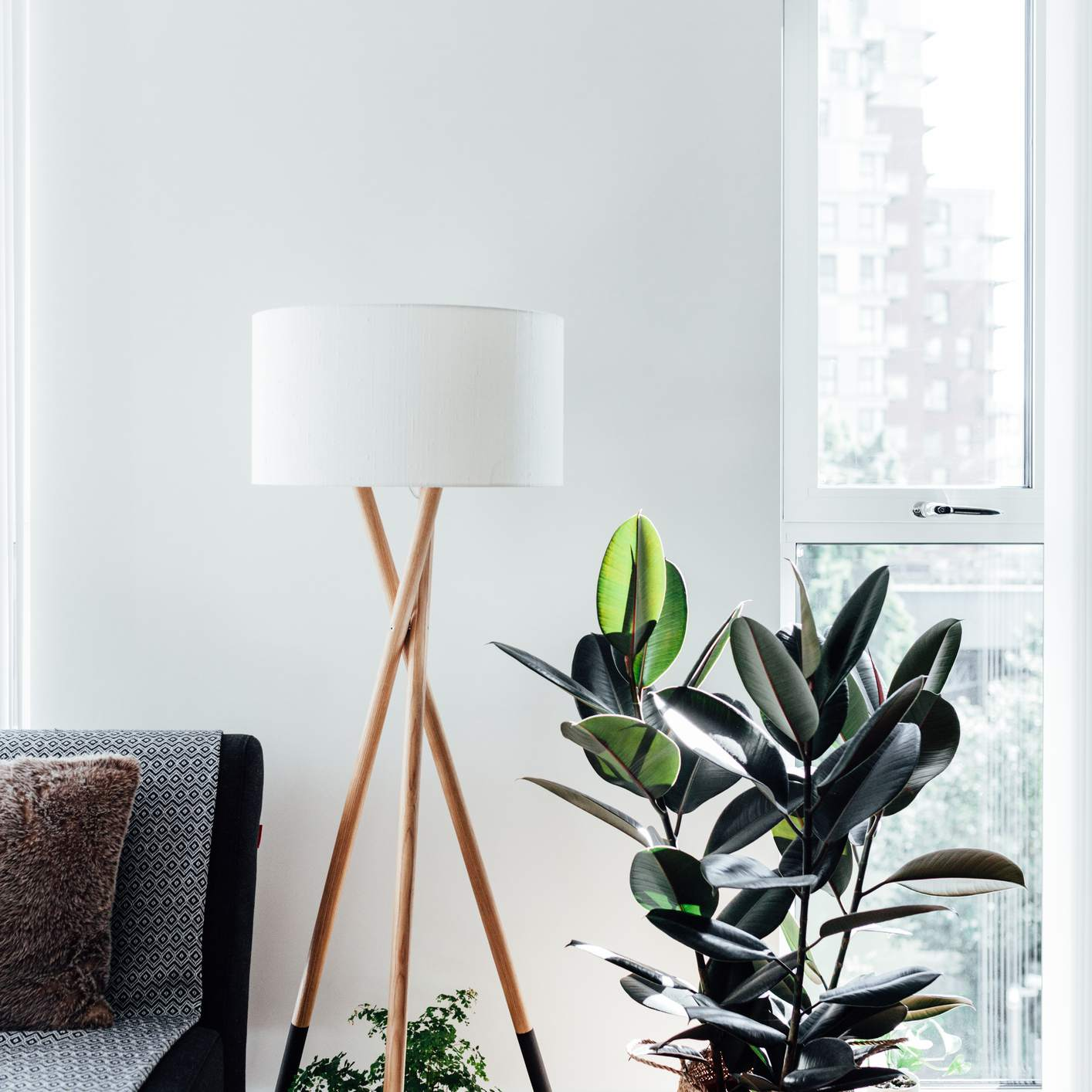 Rubber Tree In Living Room