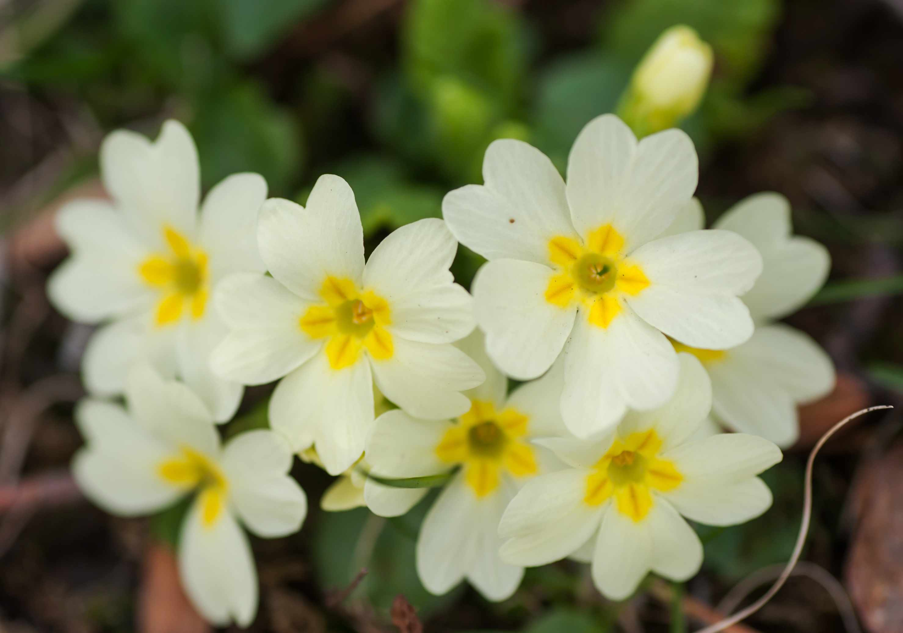 Primrose perennial flowers with white petals and yellow star-like centers closeup
