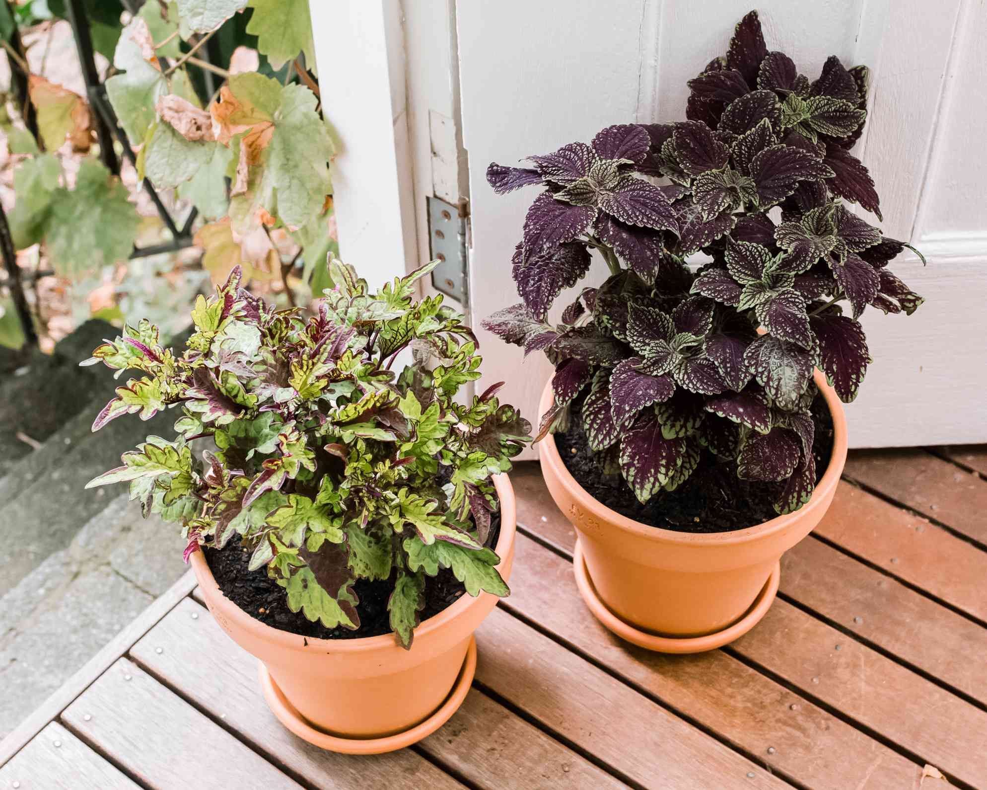 different varieties of coleus plants side by side