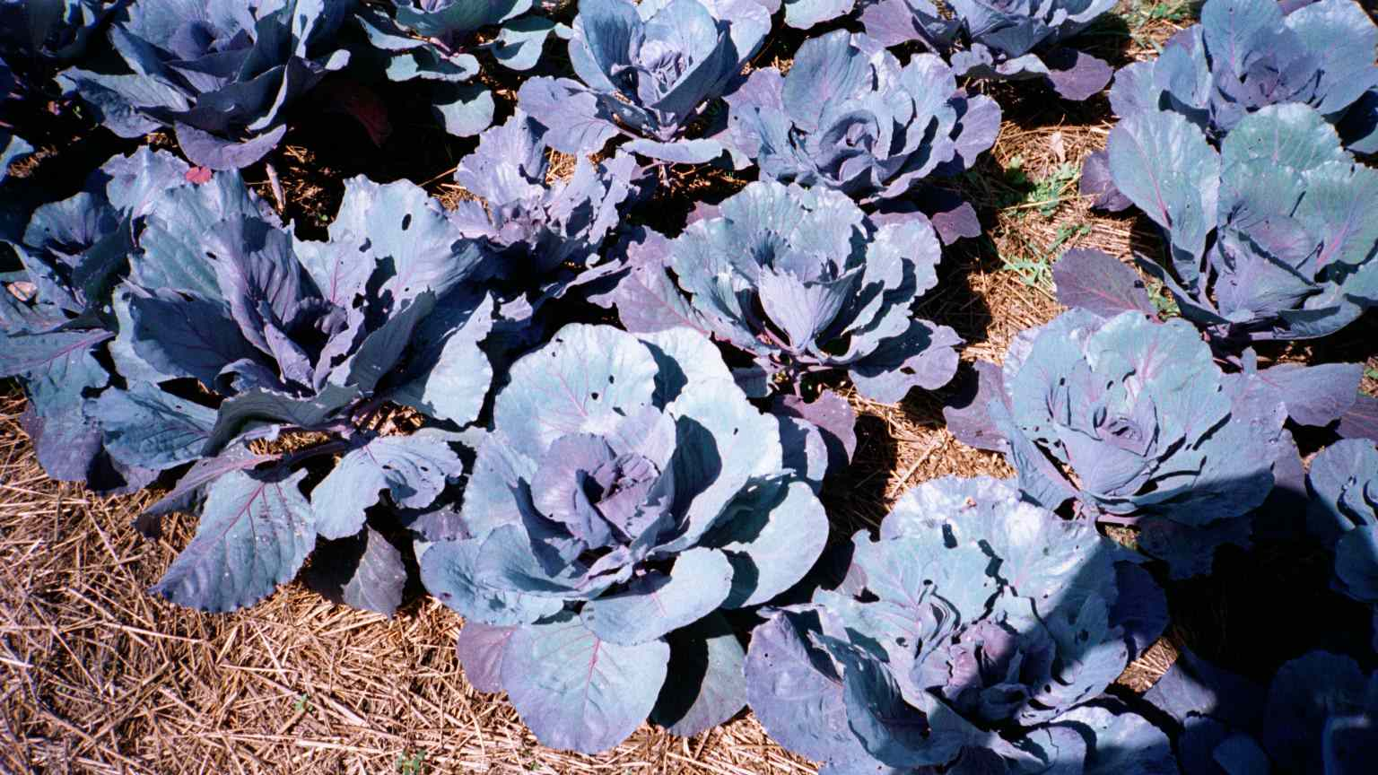 Heads of 'Red Drumhead' Cabbage.