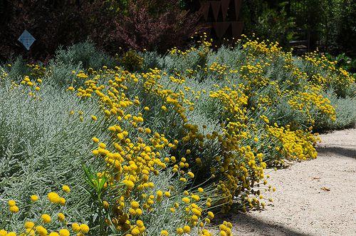 Lavender cotton plant