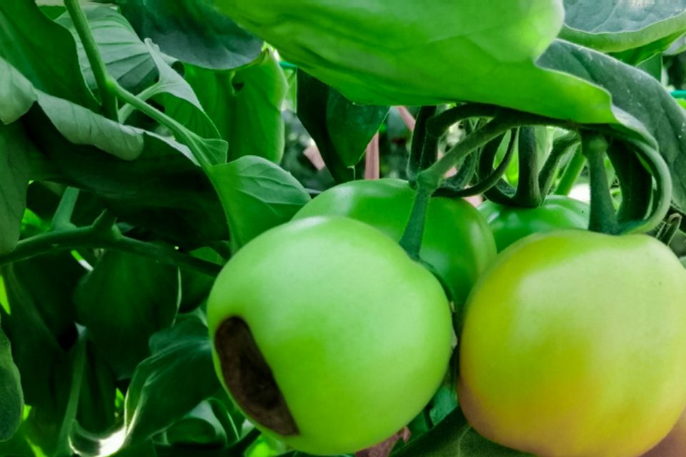 bottom of tomatoes rotting