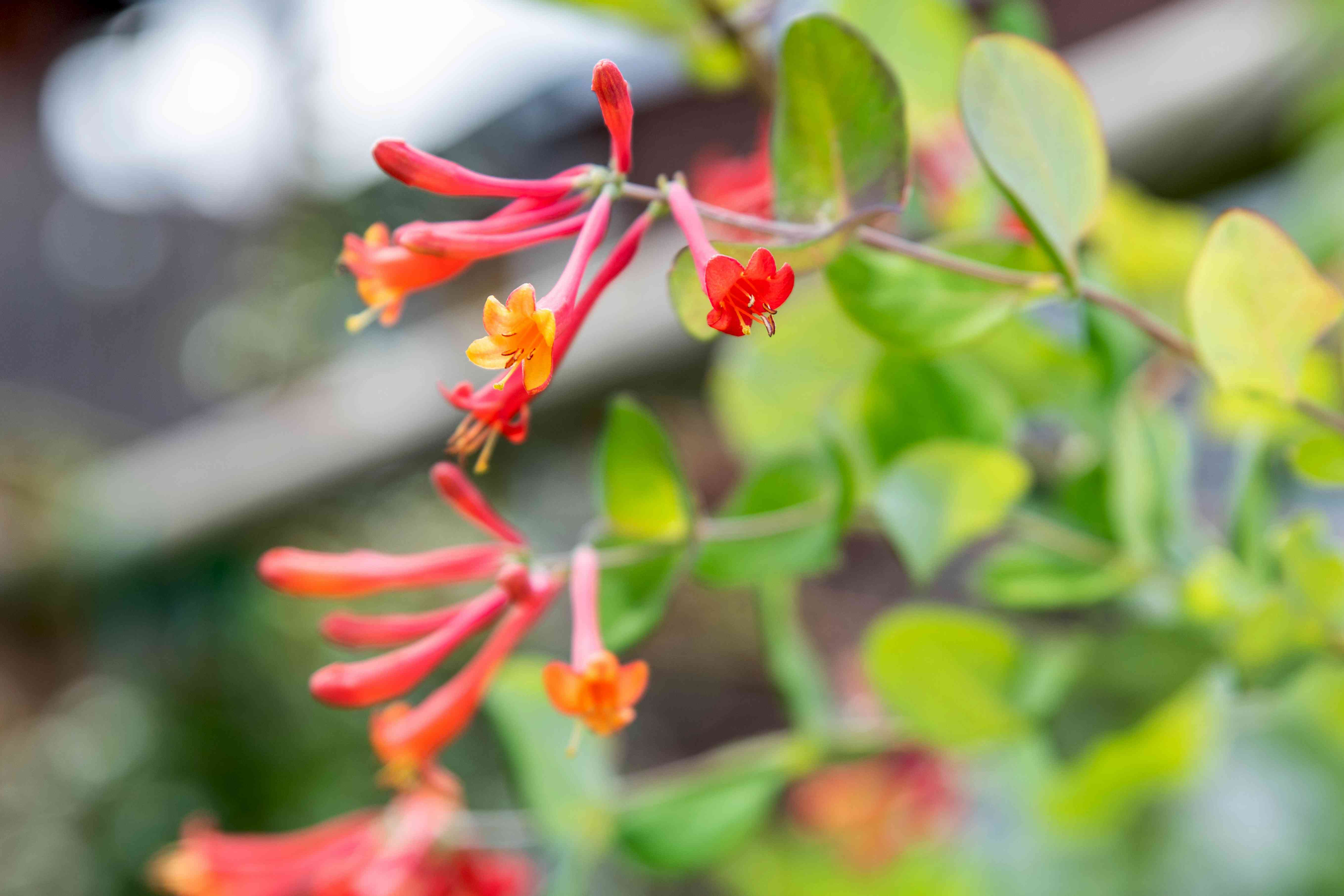 Coral honeysuckle plant branch with red and orange tubular flowers on branch closeup