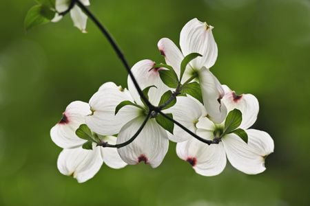 6 Best Dogwood Tree Varieties