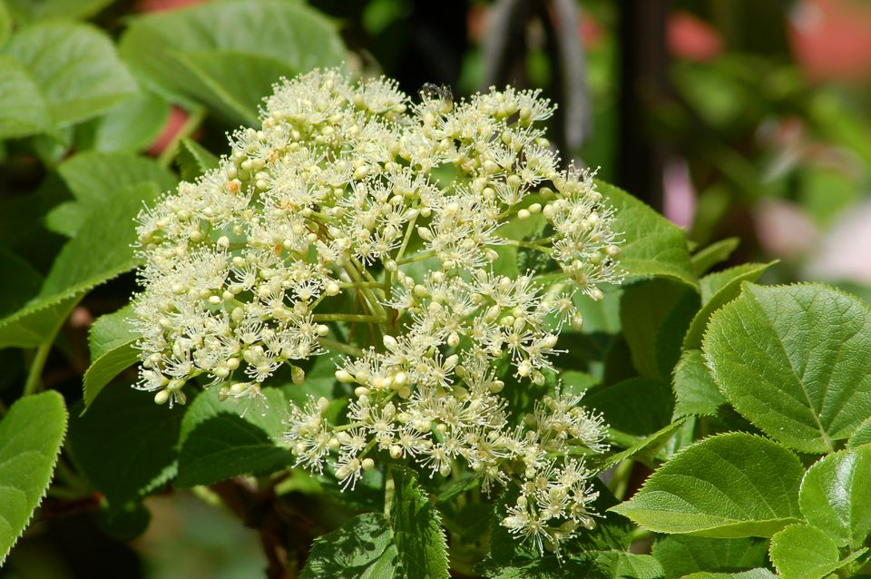 Climbing hydrangea vines for shade mightylinksfo