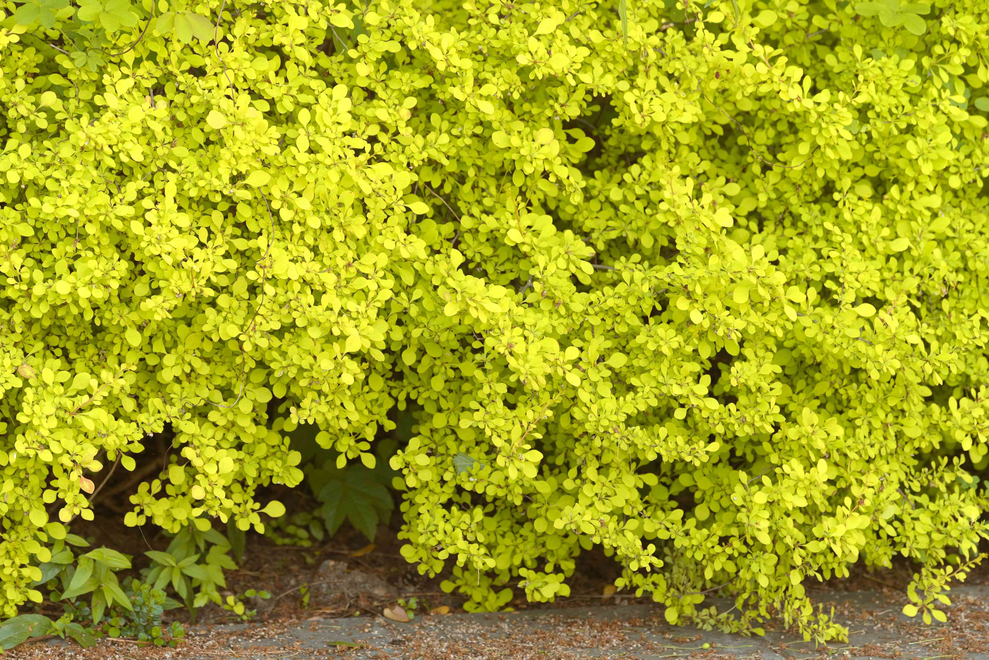 Barberry shrub with small yellow-green leaves clustered on branches