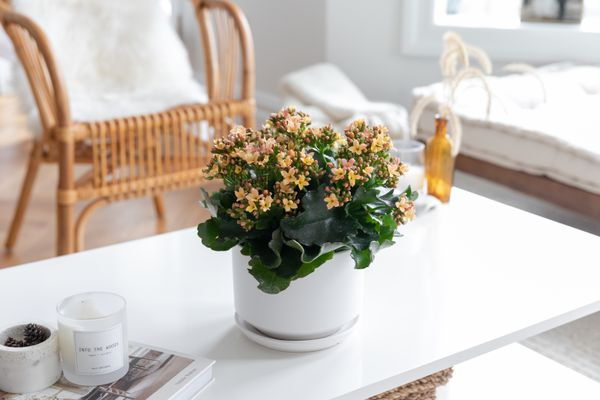 Yellow begonia flowers in white pot on living room table