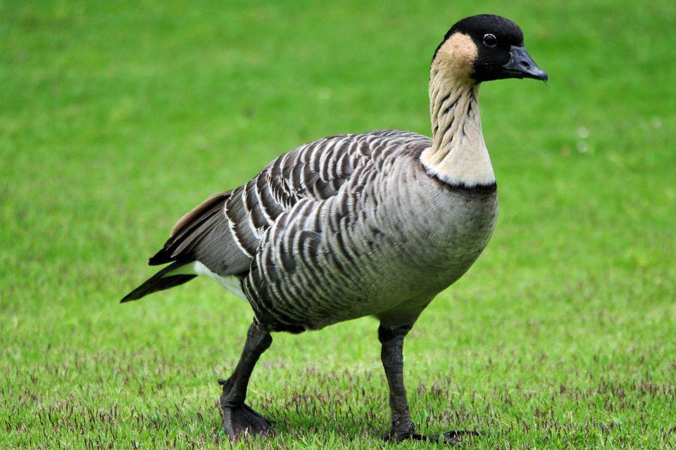 Nene - Hawaiian Goose