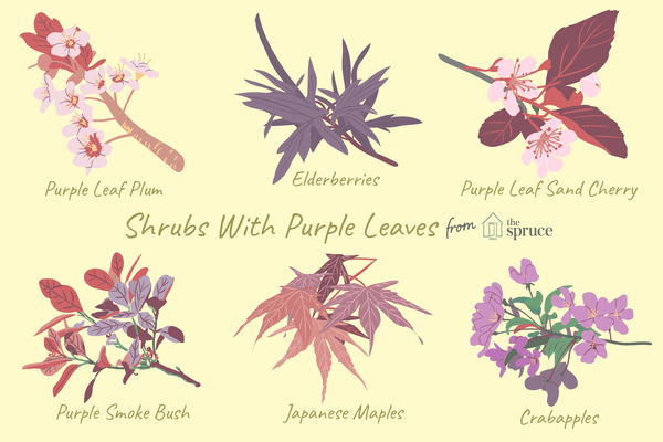 illustration of shrubs with purple leaves