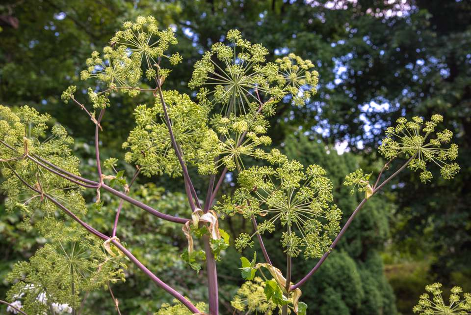 Angelica plant with brown-purple trunk and branches with green starburst-like foliage