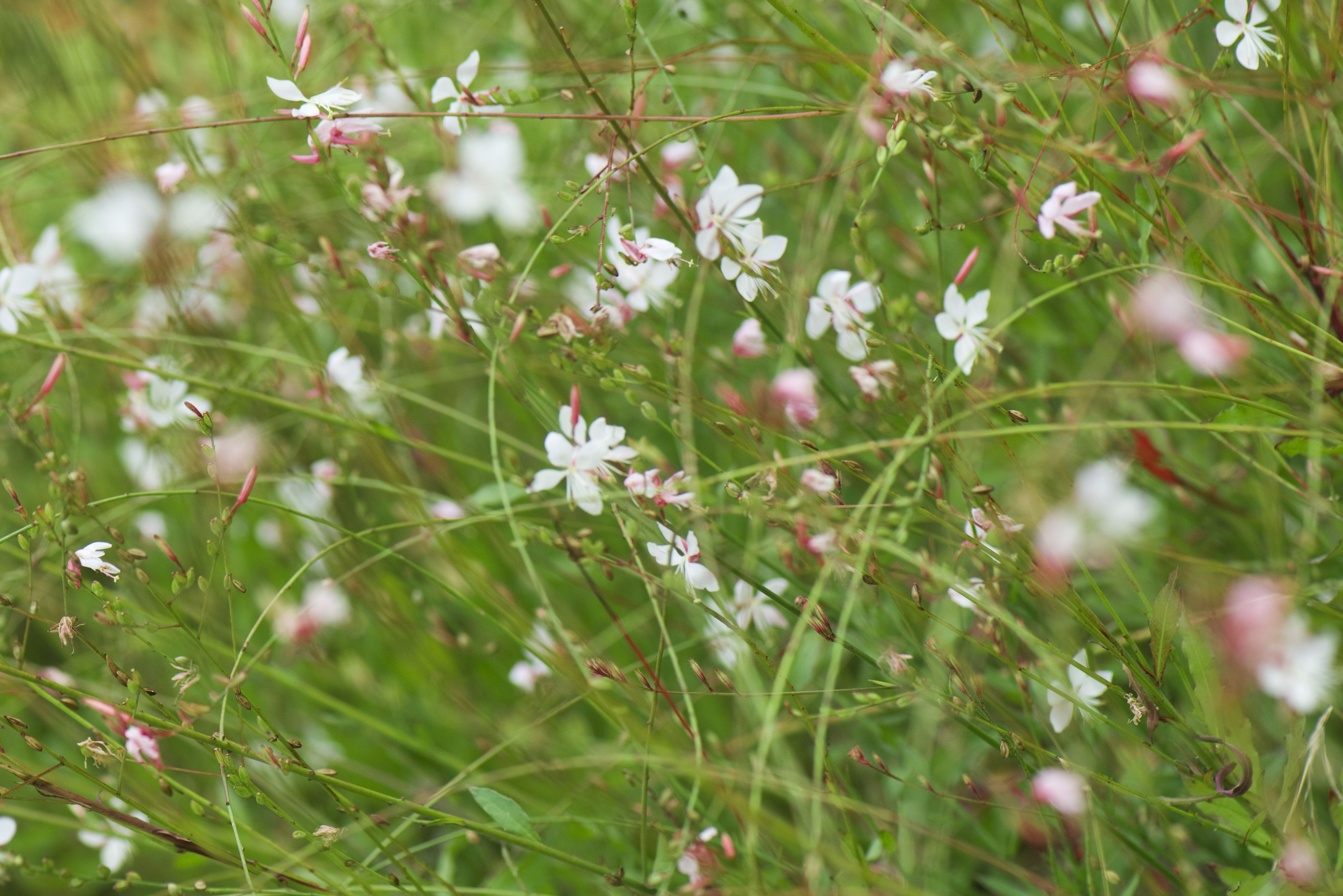 Gaura Growing Wand Flower