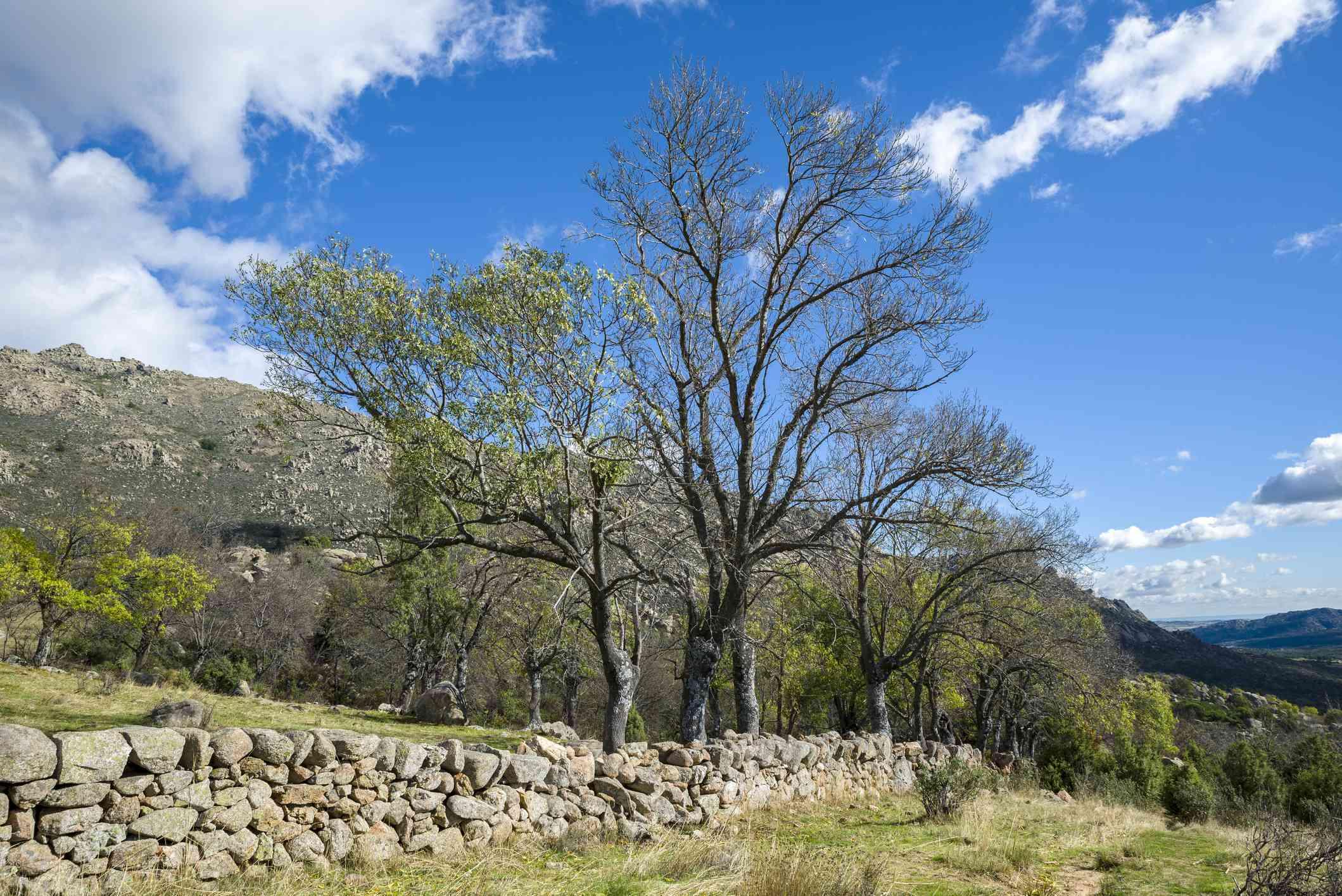 Narrow leaf ash tree