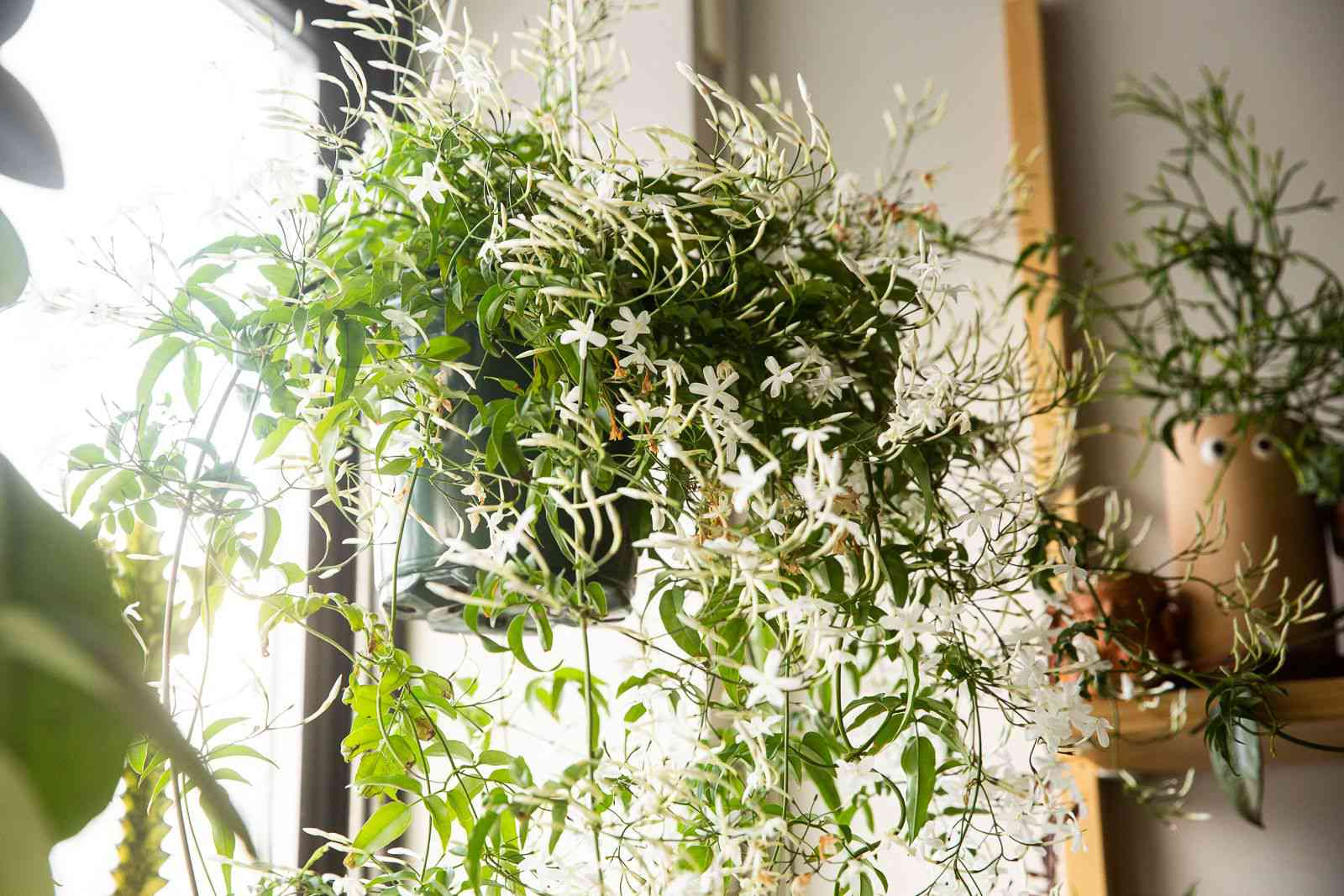 Jasmine plant hanging with small white flowers near brightly-lit window