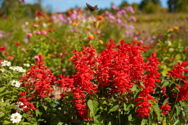 red salvia and fall flowers