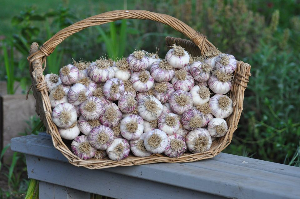 Harvested and cleaned garlic in basket